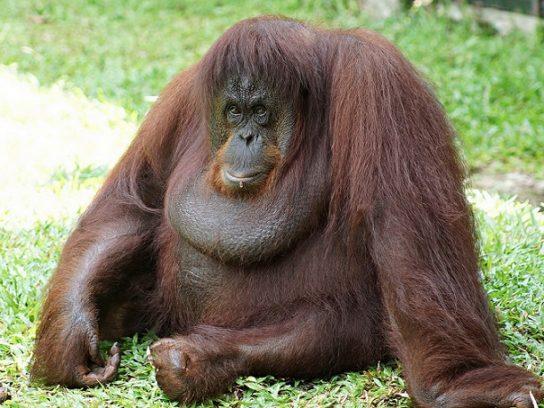 орангутан - фото