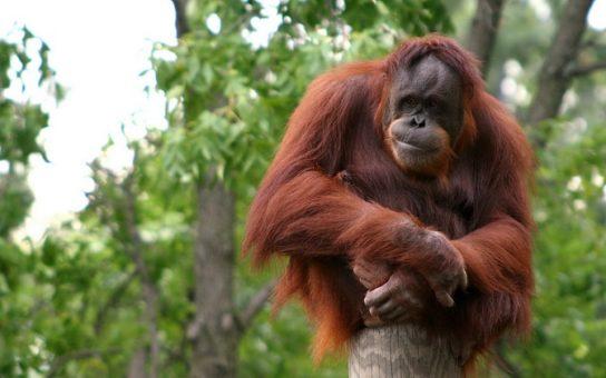 Орангутан на дереве