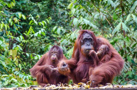 семейство орангутанов
