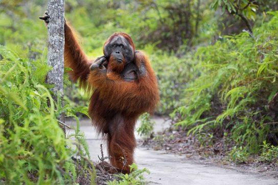 популяция орангутанов