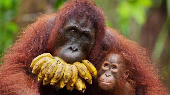 питание орангутанов