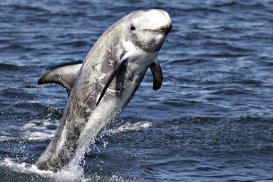 сколько осталось серых дельфинов