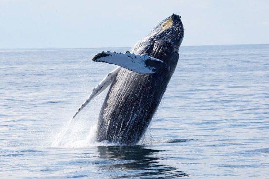 сколько весит серый кит
