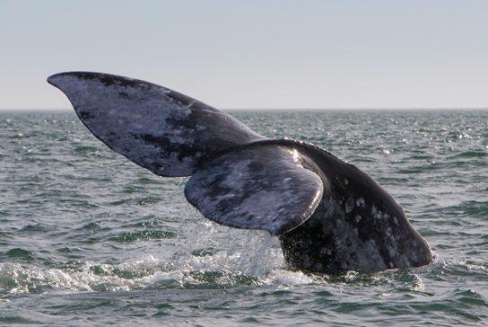 ареал обитания серого кита