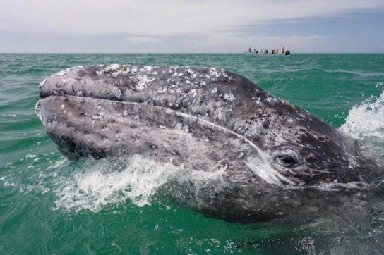 миграция серых китов