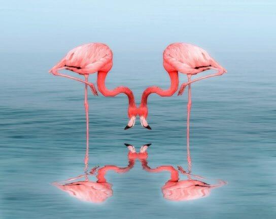 продолжительность жизни фламинго