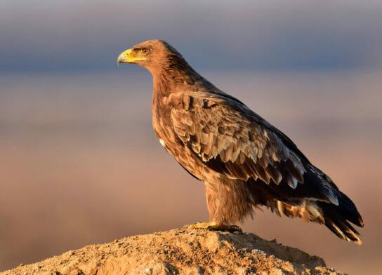 Внешний вид степного орла