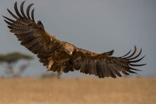 сколько живет степной орел