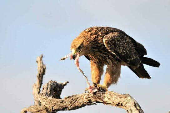 питание степных орлов