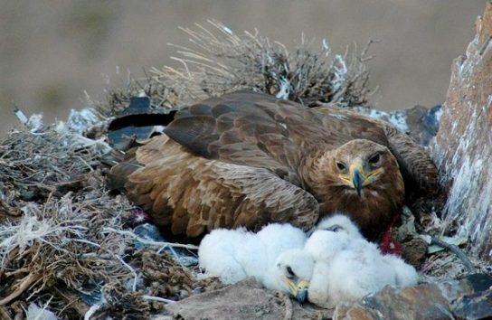 размножение степных орлов