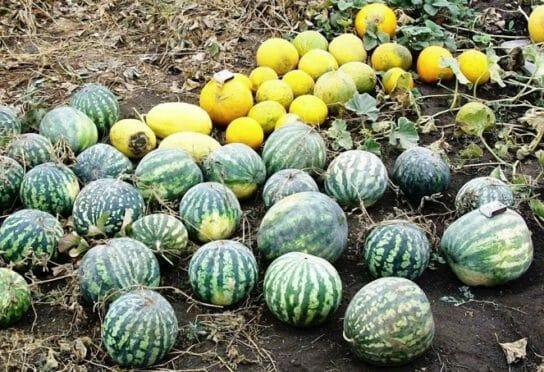 Выращивание бахчевых