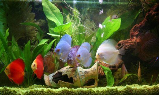 содержание аквариумных рыб