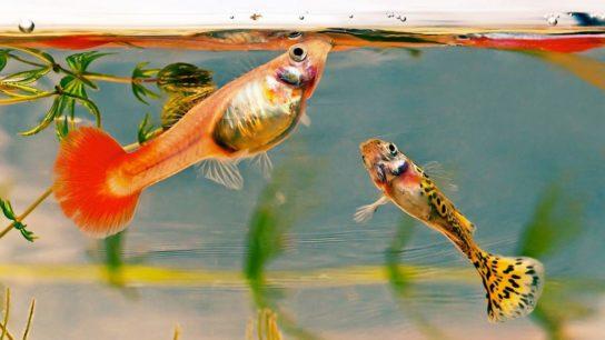 Чем кормить аквариумных рыб