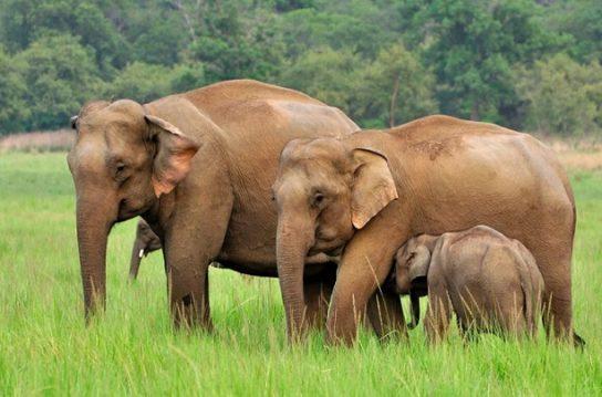 Индийский слон с детенышем