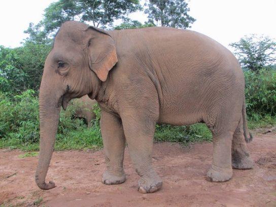 популяция индийских слонов