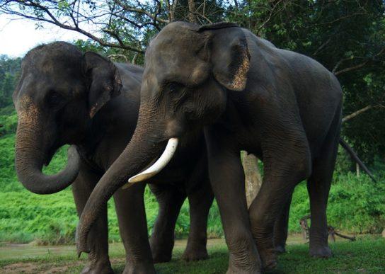 образ жизни индийских слонов