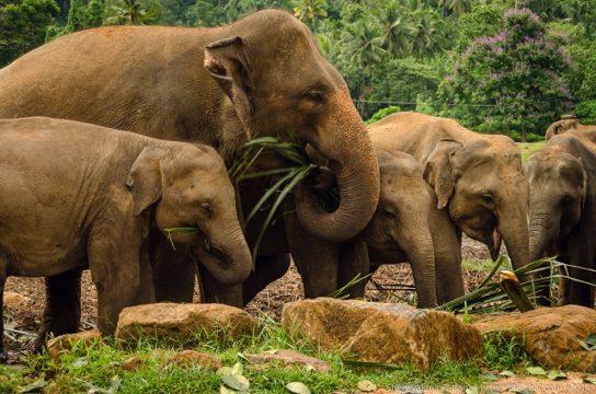 чем питаются индийские слон