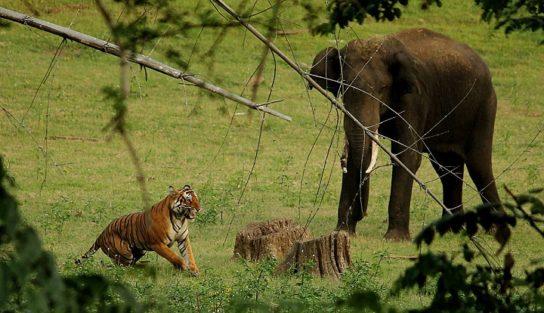индийский слон и тигр