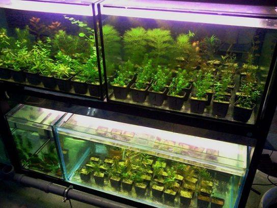 Разведение аквариумных растений