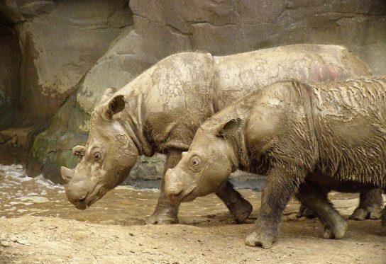 Суматранский носорог из Красной книги