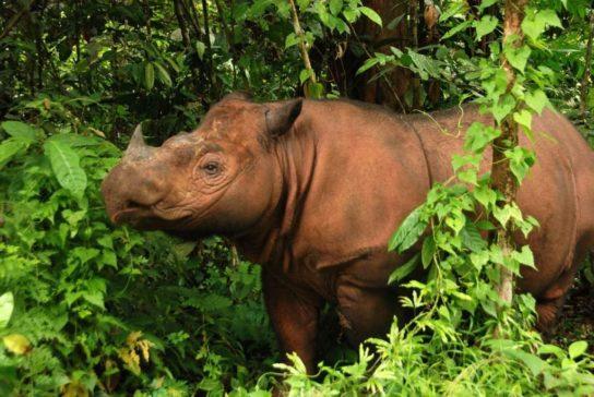 Где обитает суматранский носорог