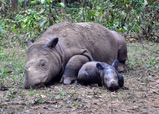 образ жизни суматранского носорога