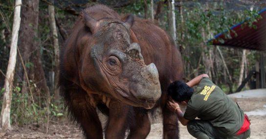 Охрана суматранских носорогов