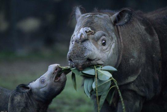 чем питается суматранский носорог