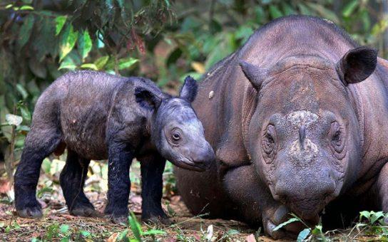 суматранский носорог с детенышем