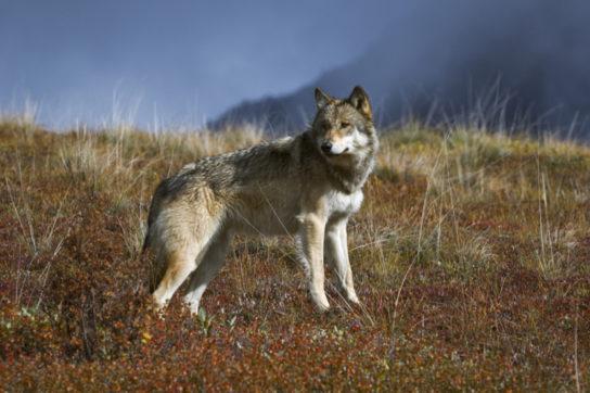 Внешний вид тундрового волка