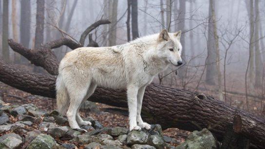чем питается тундровый волк