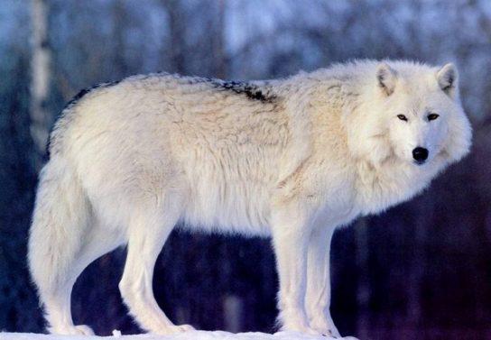 фото тундрового волка