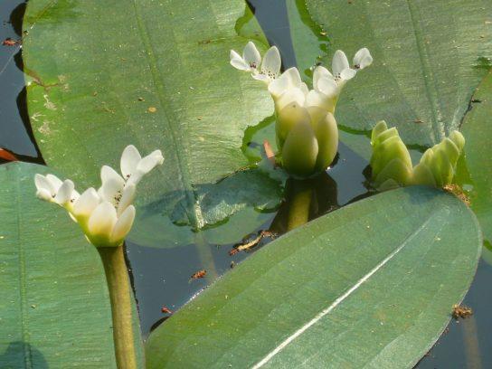 Двуколосного Апоногетона - цветы