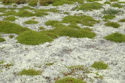 фото арктического моха