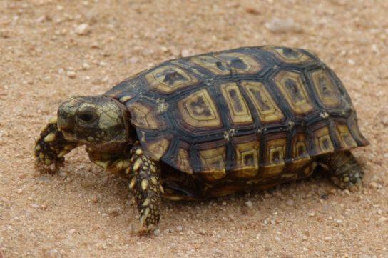 Черепаха Киникс - фото