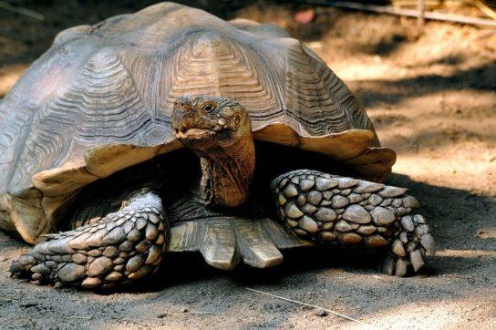 африканская шпороносная черепаха - фото