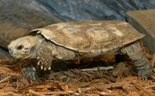 фото эластичной черепахи