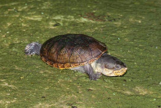 Иловая головастая черепаха - фото
