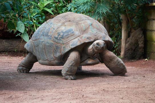 Слоновая черепаха - фото