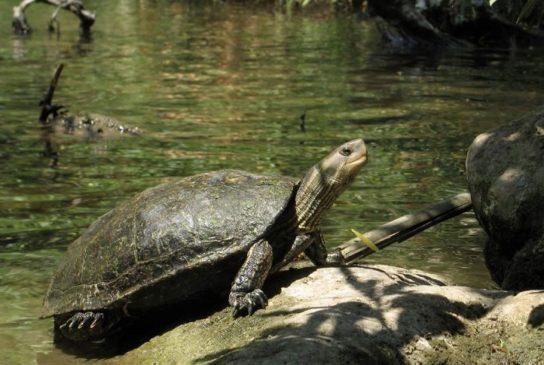 Каспийская черепаха - изображение