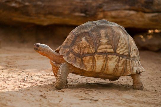 Мадагаскарская клювогрудая черепаха - фото