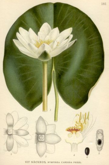 белая лилия кувшинка - фото 2