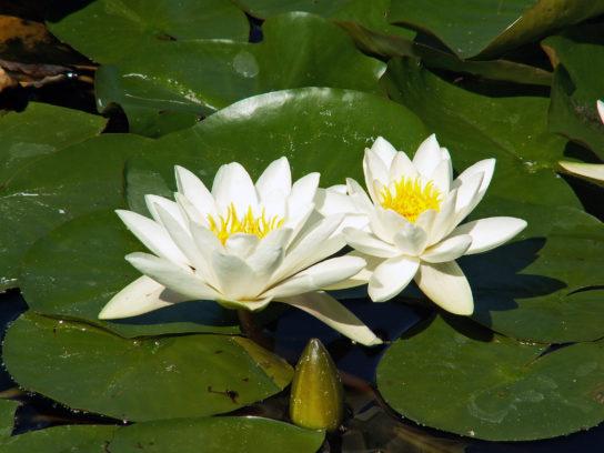 белая лилия кувшинка - фото 3
