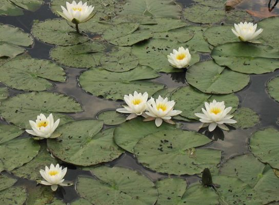 белая лилия кувшинка - фото 6