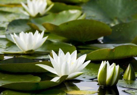 белая лилия кувшинка - фото 7
