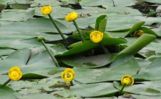 Кувшинка желтая - фото 2