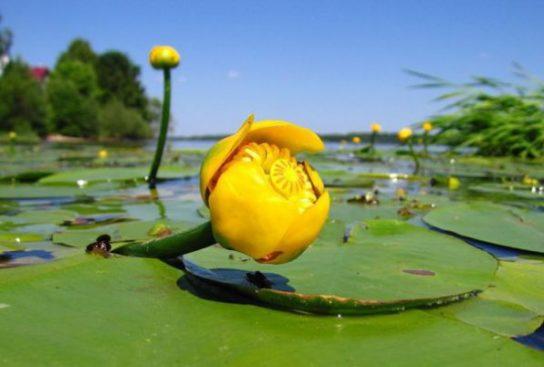 Кувшинка желтая - фото 3