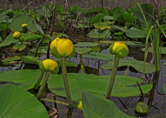Кувшинка желтая - фото 5