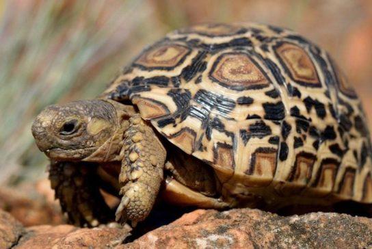 леопардовая черепаха (пантеровая черепаха) - изображение