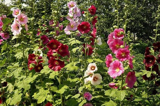 Цветок мальва - фото 5